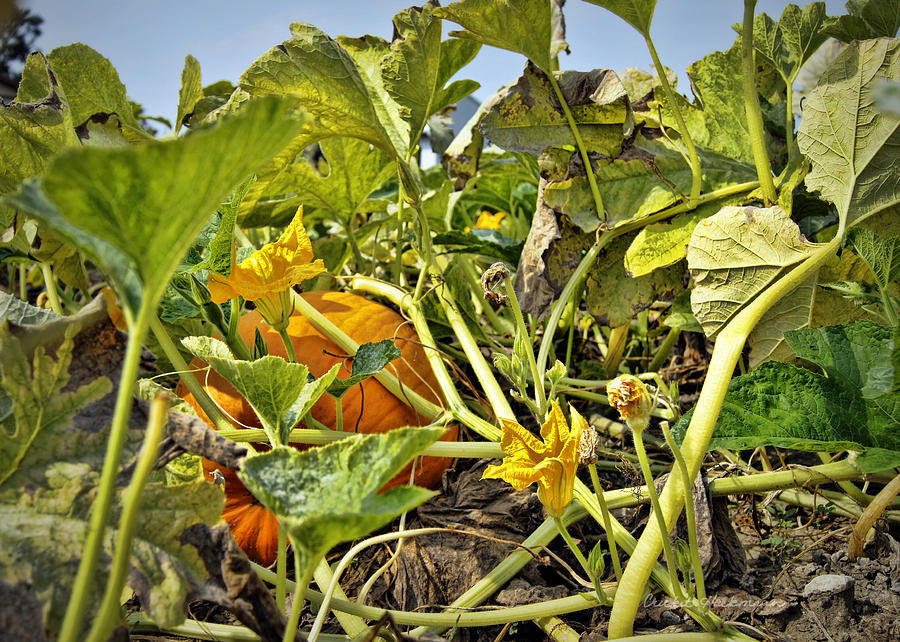 The Pumpkin Patch Photograph