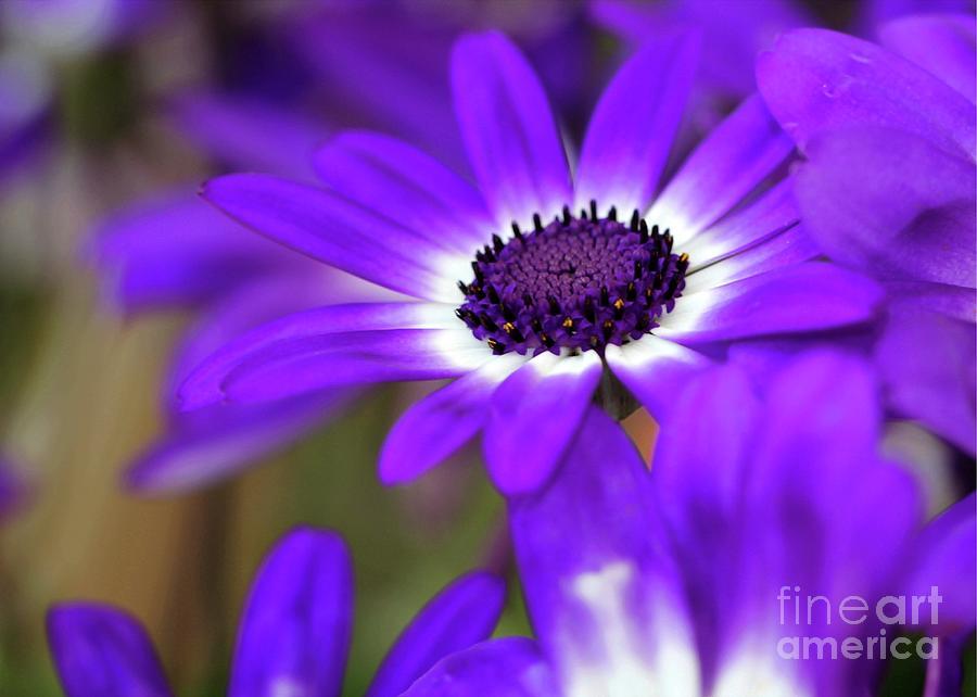 Flower Photograph - The Purple Daisy by Sabrina L Ryan