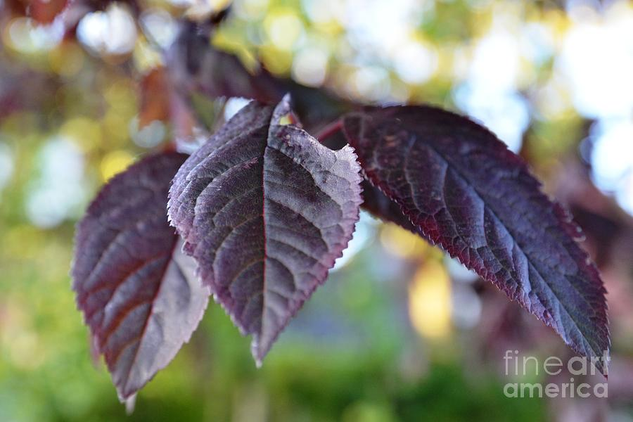 Leaf Photograph - The Purple Leaf by Aqil Jannaty