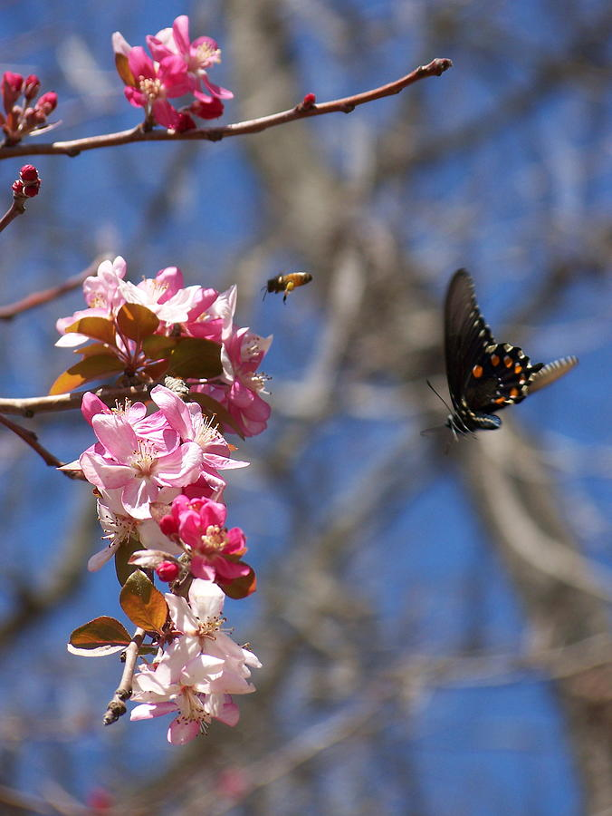 Butterflies Photograph - The Pursuit by Cherie Haines
