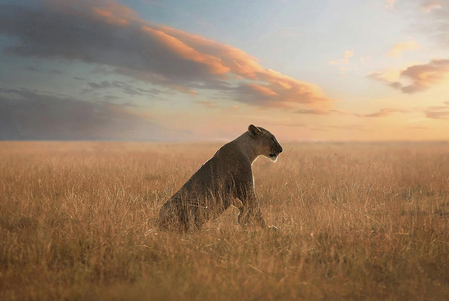 Lion Photograph - The Queen by Bjorn Persson