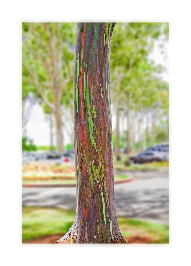 The Rainbow Eucalyptus Tree Photograph By Maryjane Armstrong