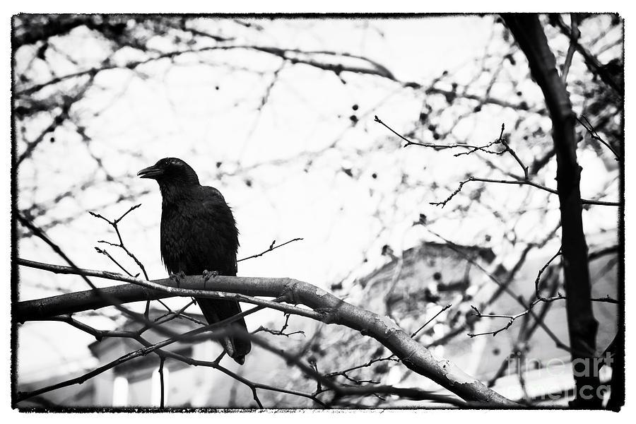 The Raven Photograph - The Raven by John Rizzuto