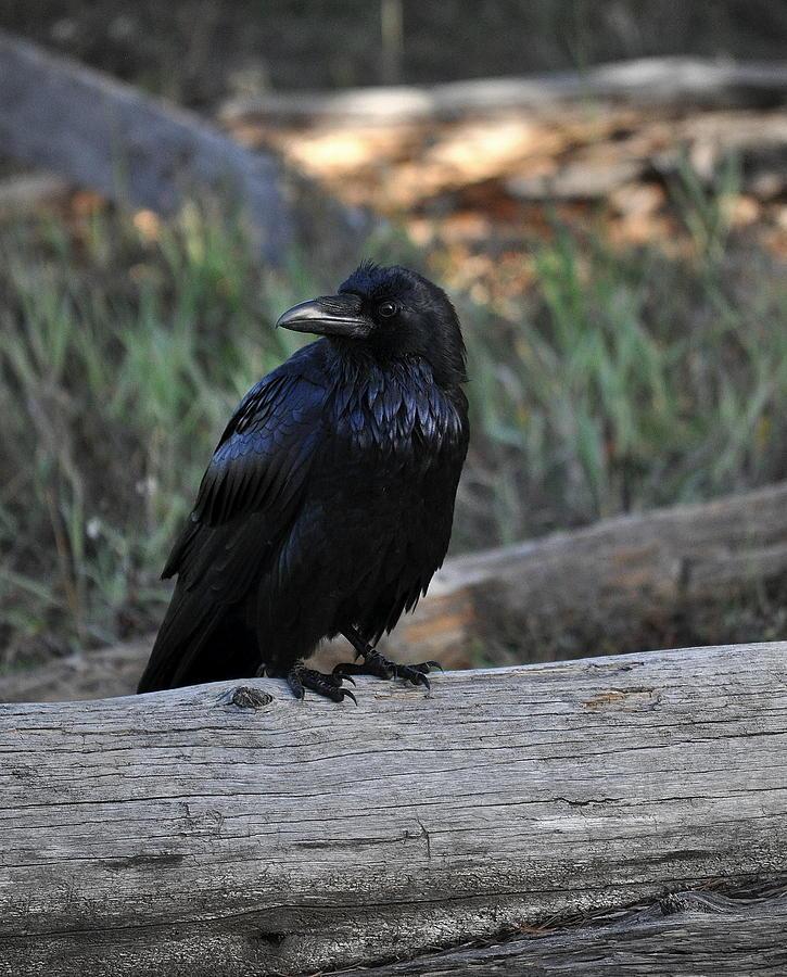 The Raven King Photograph