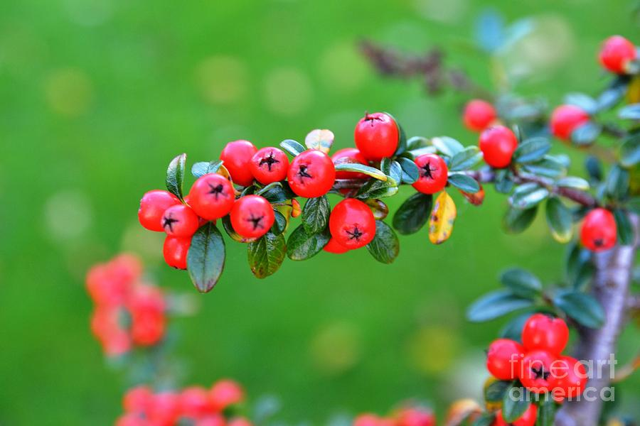 Almost Photograph - The Red Berries by Aqil Jannaty