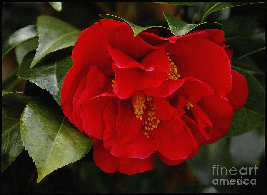 Red Camellia Photograph - The Red Camellia  by James C Thomas