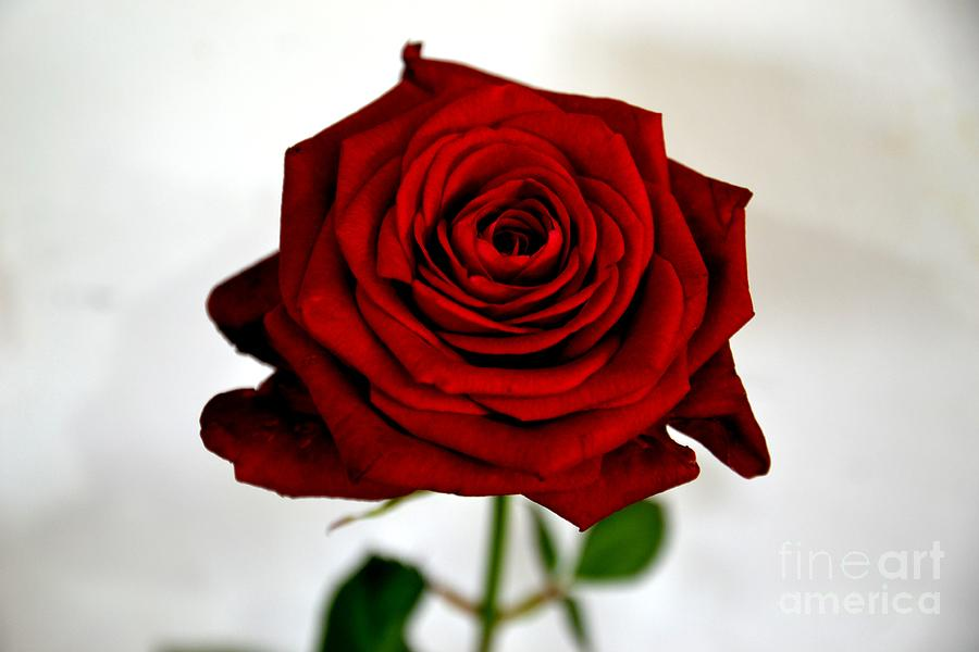 Rose Photograph - The Red One by Aqil Jannaty