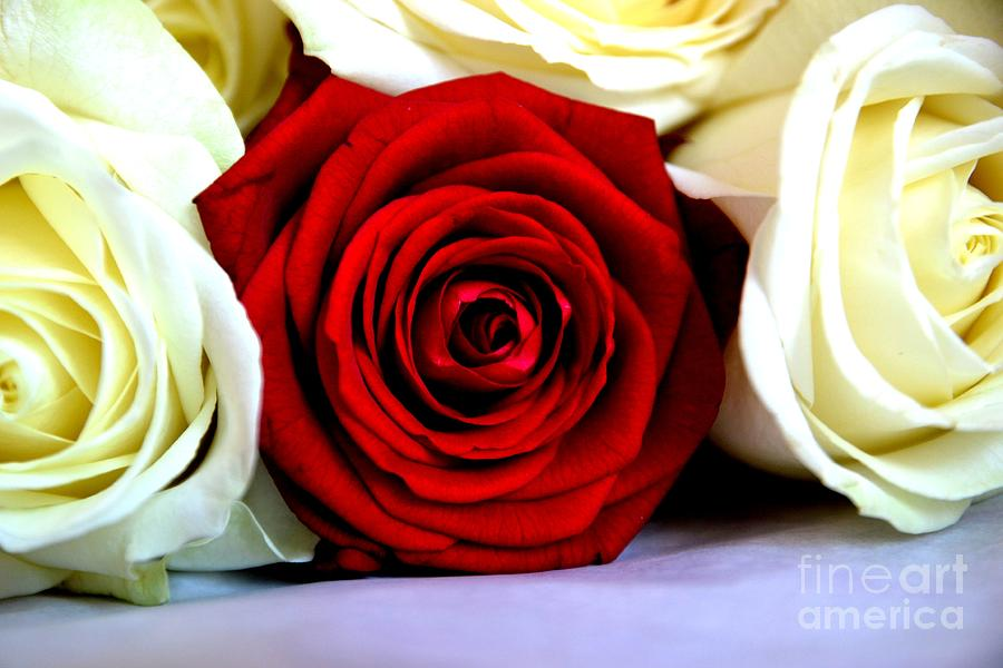 Rose Photograph - The Red One Out by Aqil Jannaty