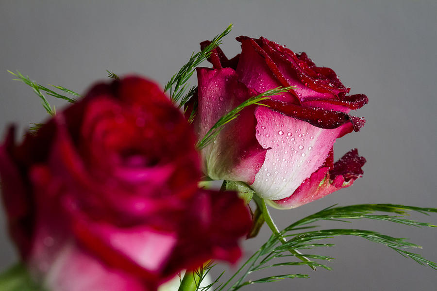 Rose Photograph - The Red Rose by Andreas Levi