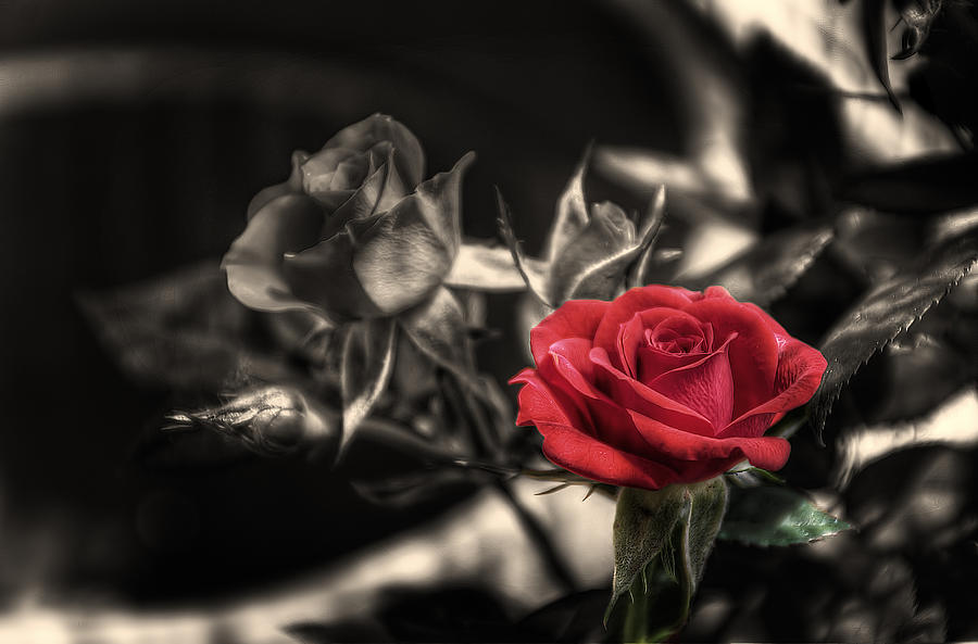 Rose Photograph - The Red Rose by Leonardo Marangi