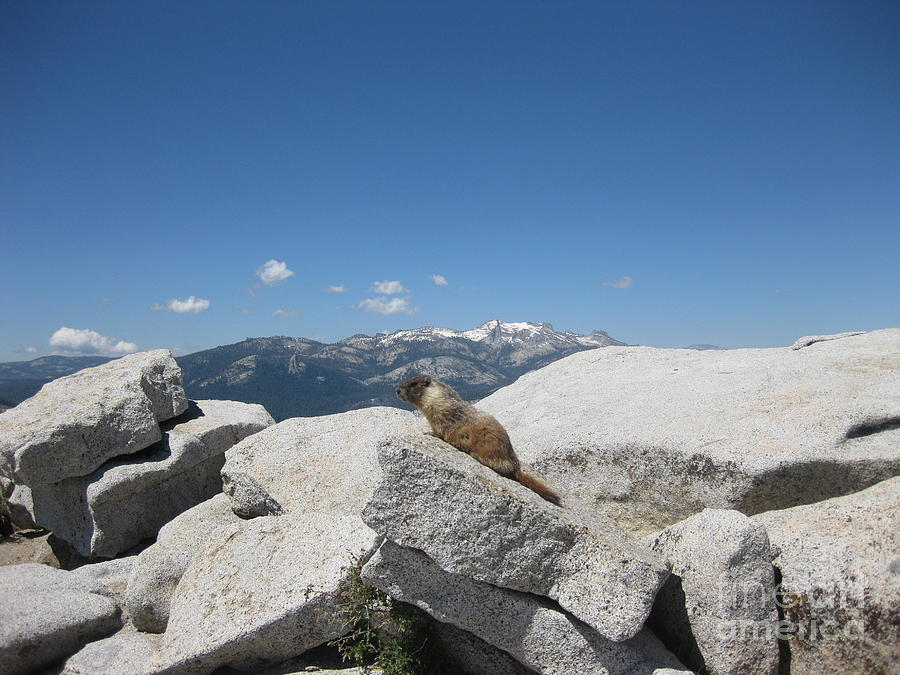 Half Dome Photograph - The Resident of Half Dome by AC Hamilton