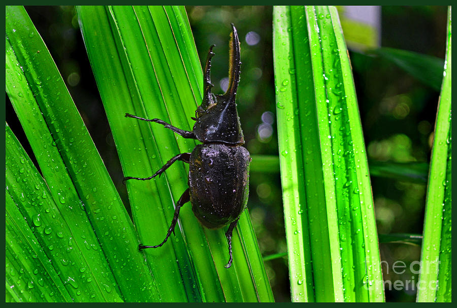 Animal Photograph - The Rhinoceros Beetle by Gary Keesler