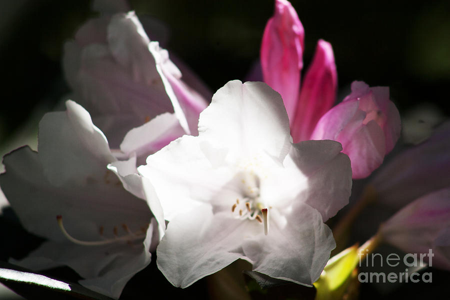 Rhododendron Photograph - The Rhododendron Forest C by Jennifer Apffel