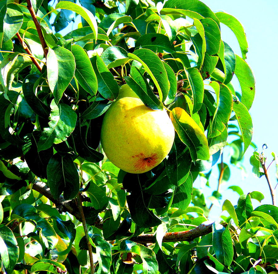 Pear Photograph - The Ripe Pear by Kay Gilley