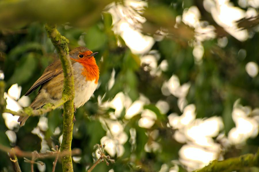 Robin Photograph - The Robin by Dave Woodbridge
