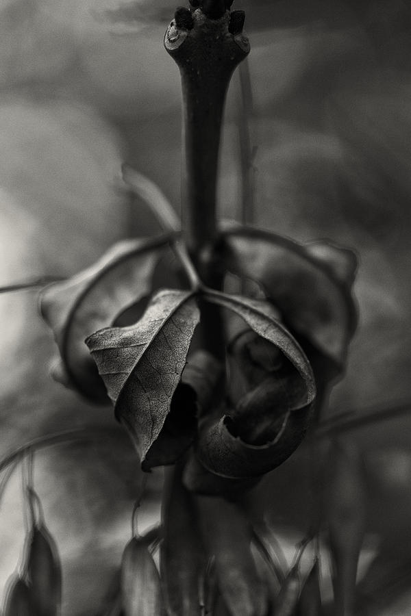 Leaf Photograph - The Rolled Leaf by Andreas Levi