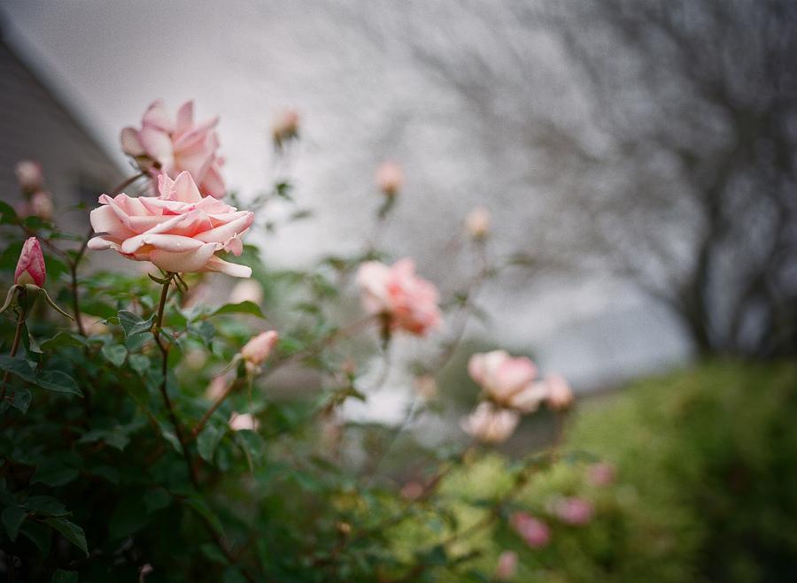 Flowers Digital Art - The Rose Garden by Linda Unger