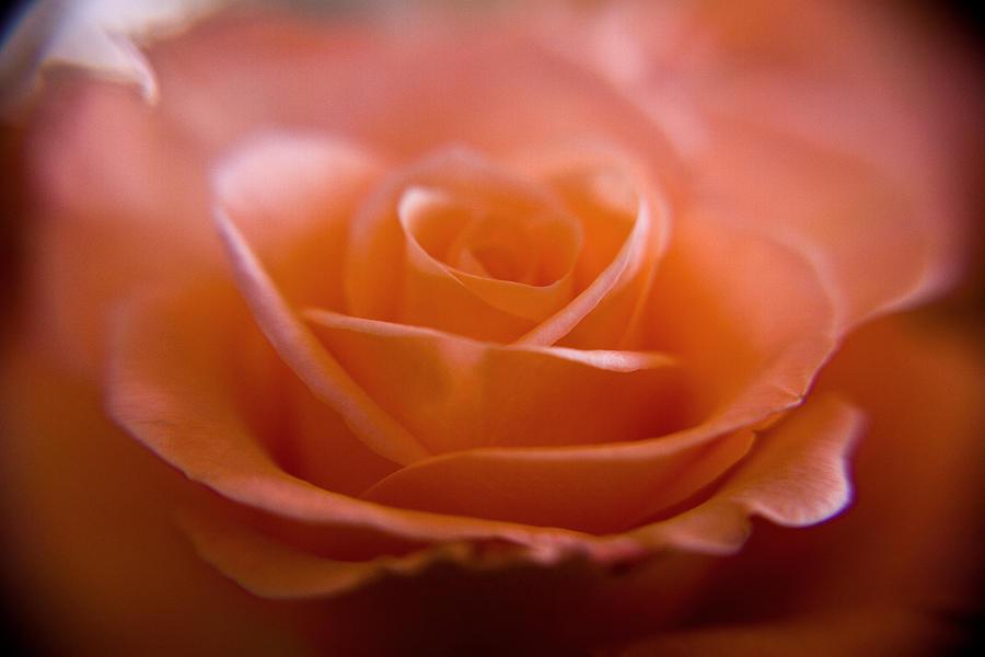 Flower Photograph - The Rose by Kim Lagerhem