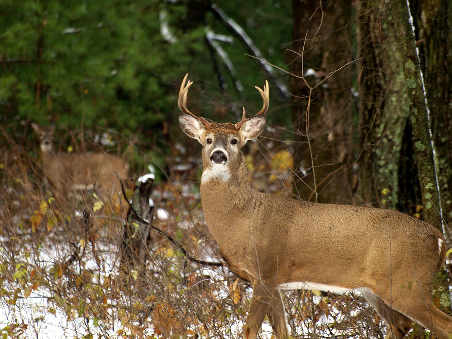 Whitetail Deer Photograph - The Rutting Whitetail Buck by Thomas Young