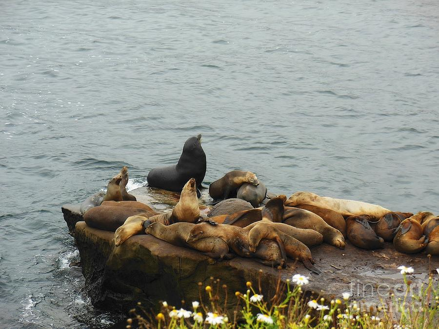 Group Photograph - The Sea Lion And His Harem by Mary Machare