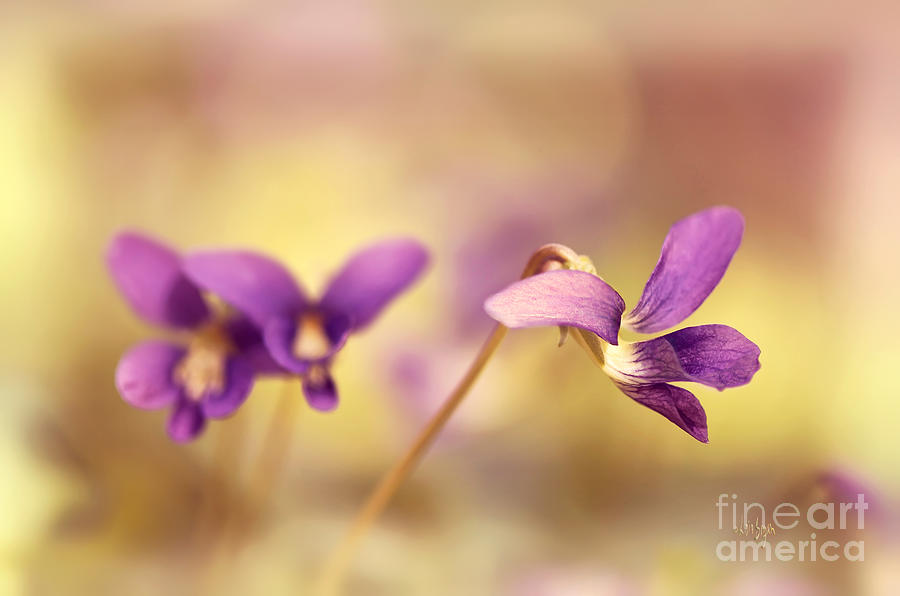 Violet Photograph - The Secret World Of Wild Violets by Lois Bryan