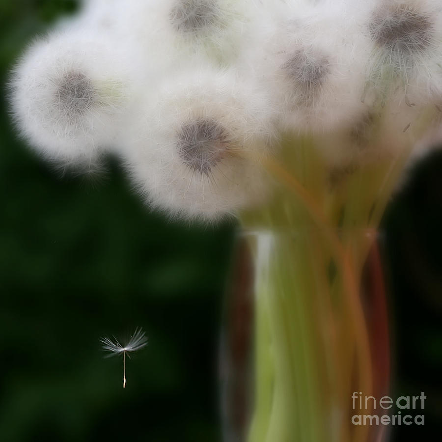 Dandelion Photograph - The Seed by Brenda Schwartz
