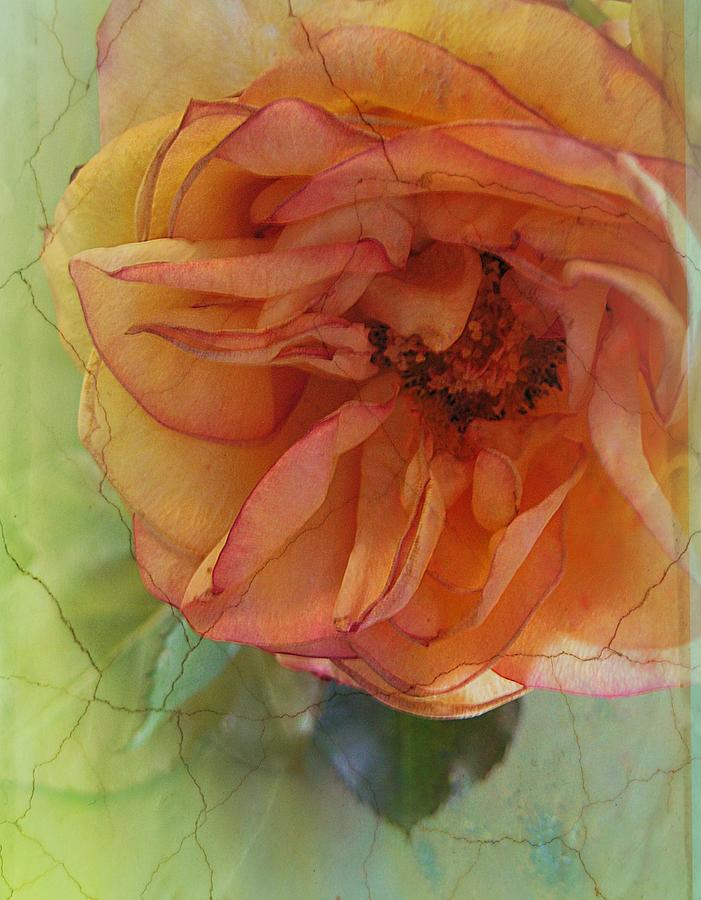 Rose Photograph - The Sensitive One by Shirley Sirois