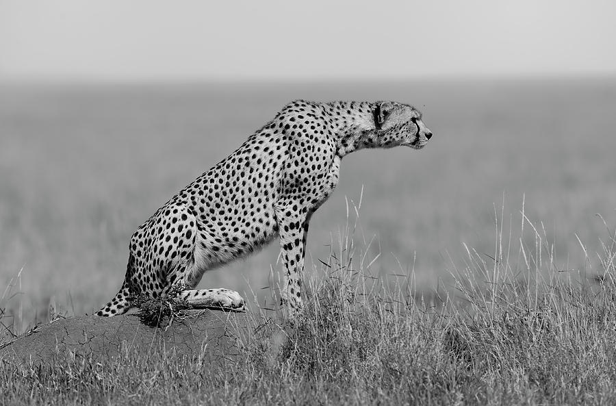 Cheetah Photograph - The Sentinel by Marco Pozzi