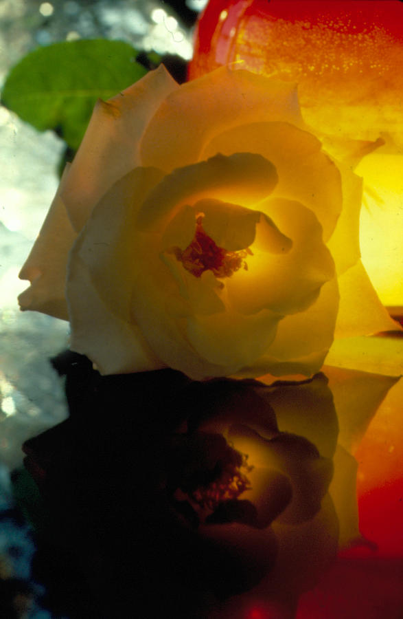 Botanical Photograph - The Shadow Of A Rose by Etti PALITZ