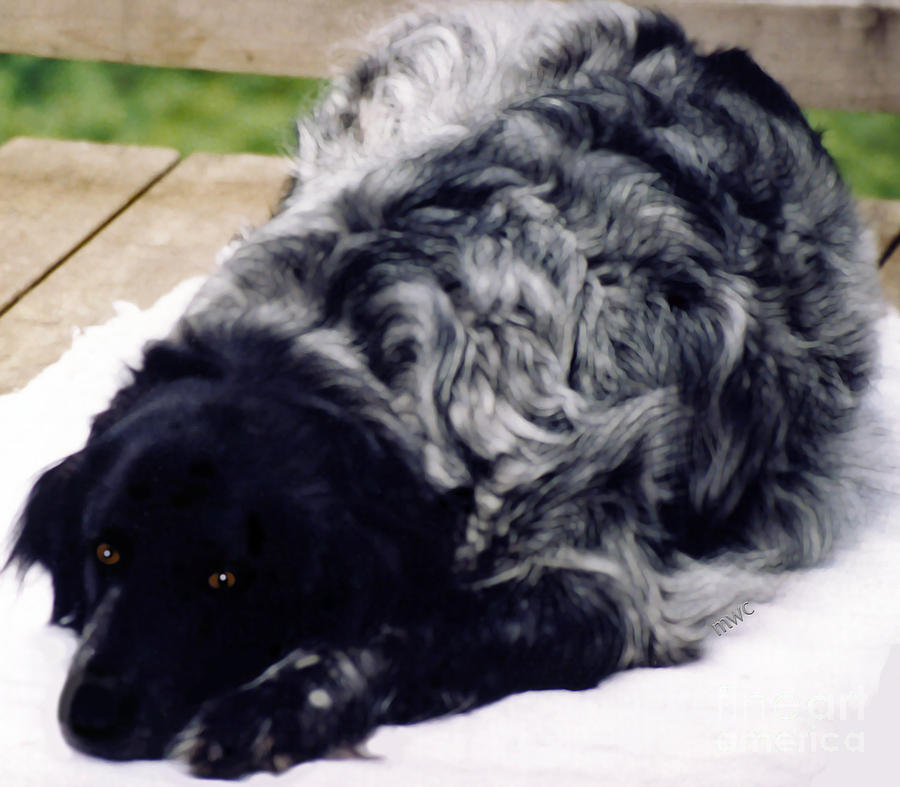 The Shaggy Dog Named Shaddy by Marian Cates
