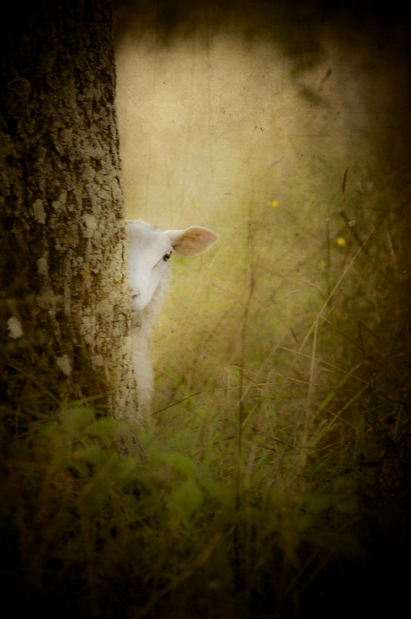 Photo Photograph - The Shy Lamb by Loriental Photography