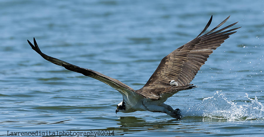 Ospreys Photograph - The Slide  by Glenn Lawrence