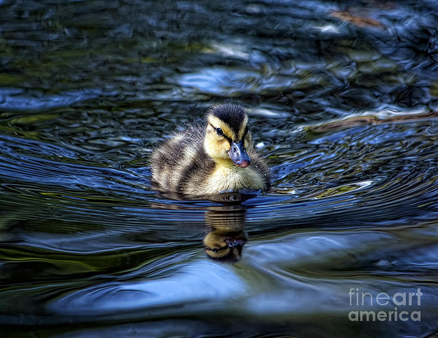 Duck Photograph - The Smallest Swimmer by The Soulosphere