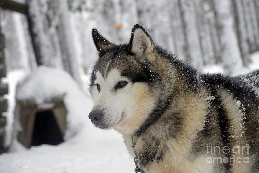 Siberian Husky Photograph - The Smile Of A Queen by Arik Baltinester