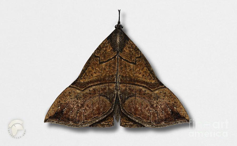 The Snout Hypena Proboscidalis - La Noctuelle A Museau - Bruine Snuituil - Snudeugle - Neslenebbfly Painting