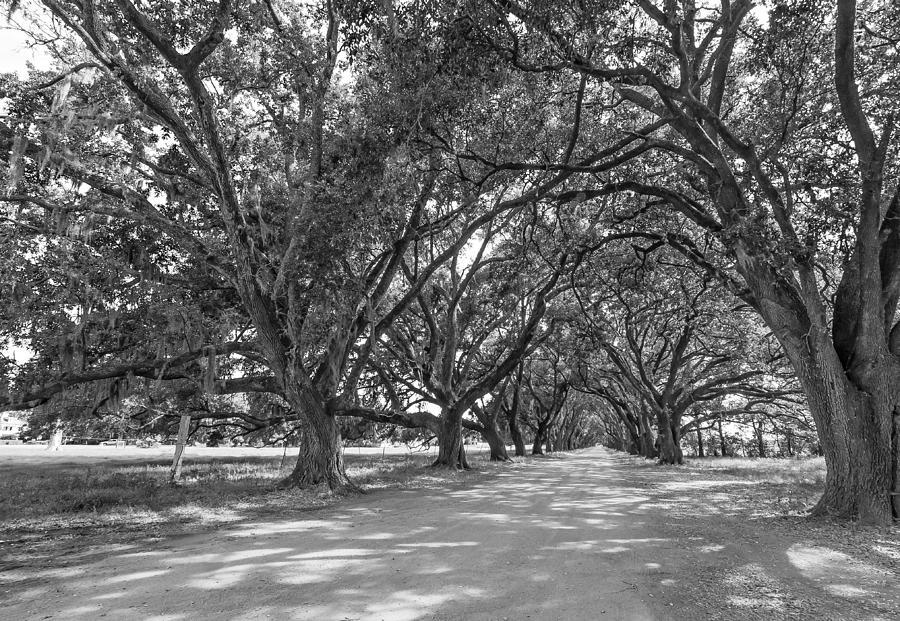 Evergreen Plantation Photograph - The Southern Way Bw by Steve Harrington