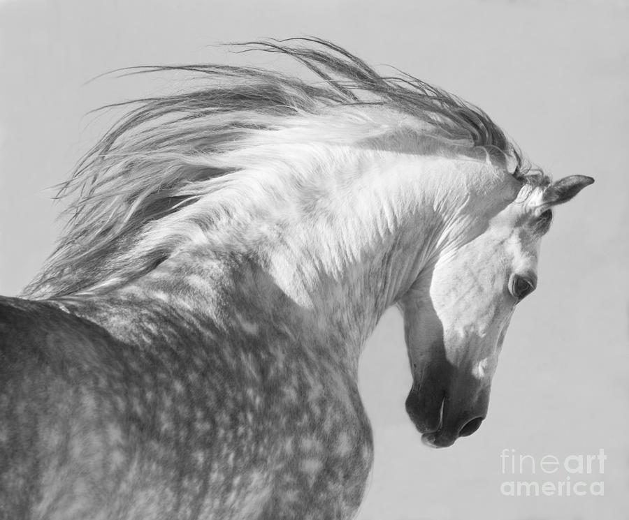 Horse Photograph - The Spanish Stallion Tosses His Head by Carol Walker