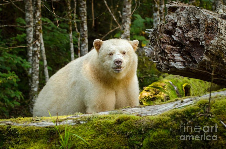 White Kermode Bear Photograph - The Spirit Bear by Melody Watson