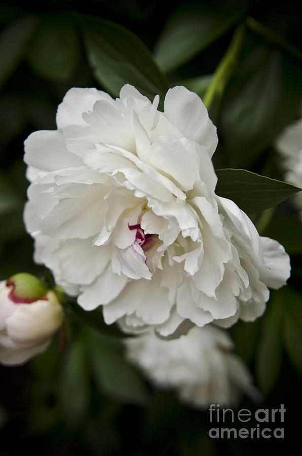 The Spring Peonies Photograph