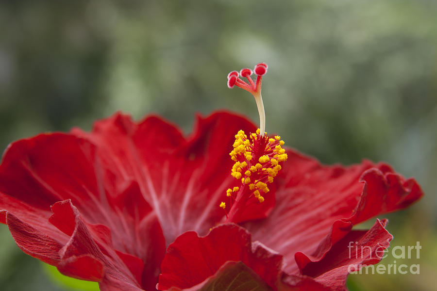 Aloha Photograph - The Star Of Dawn by Sharon Mau
