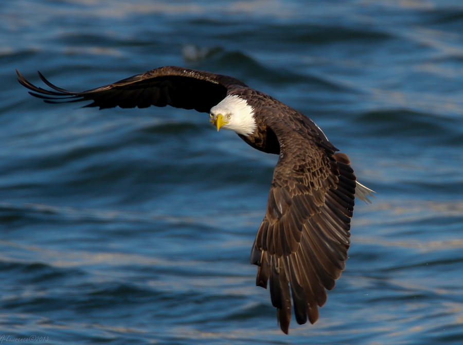 American Bald Eagles Photograph - The Stare   by Glenn Lawrence