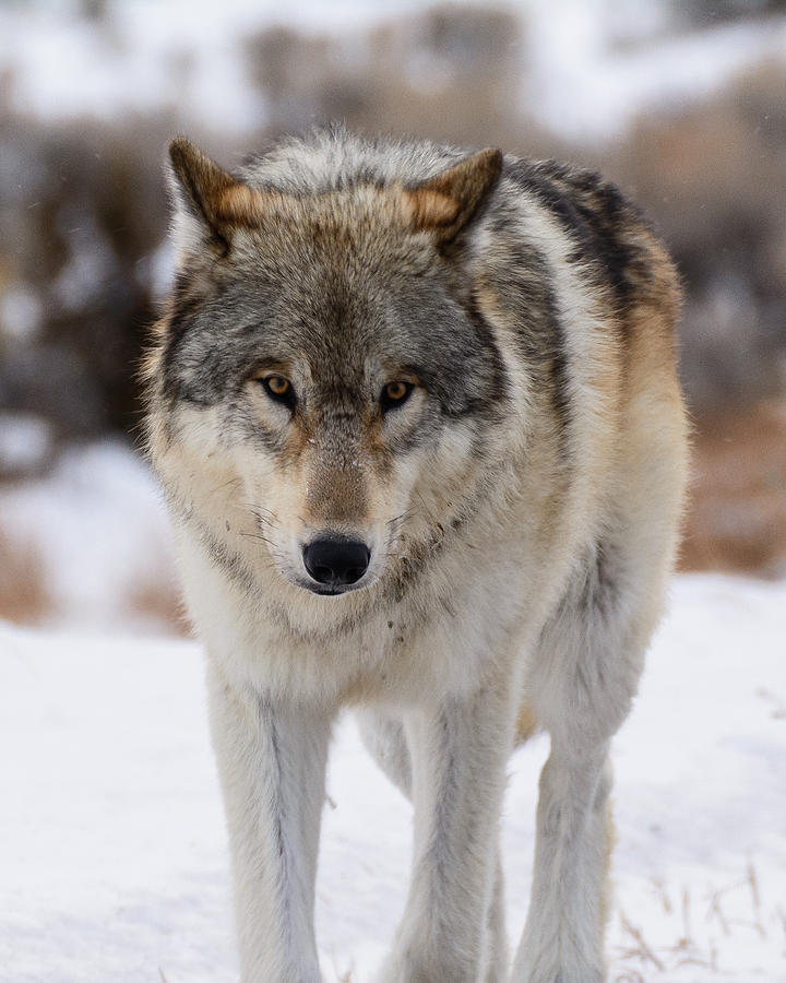 Yellowstone Wolf Photograph - The Stare by Robert Yone