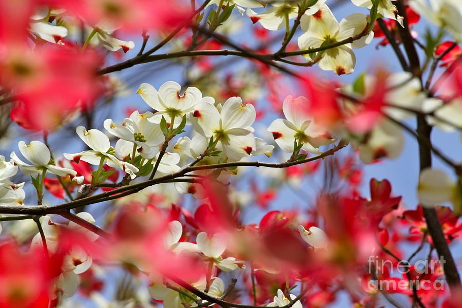 Dogwood Photograph - The State Flower Of by Jay Nodianos