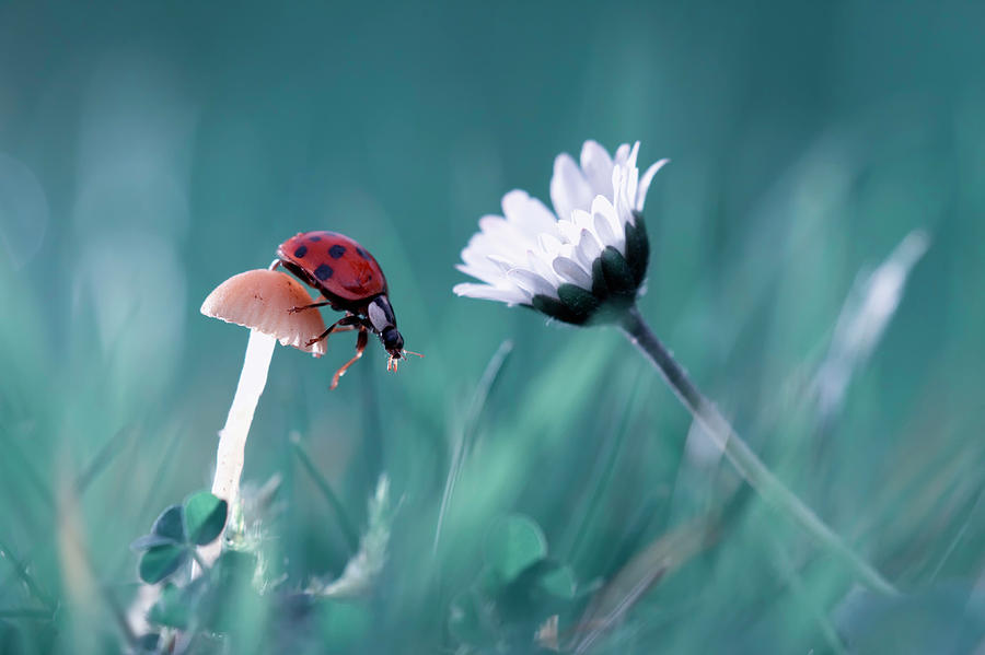 Macro Photograph - The Story Of The Lady Bug That Tries To Convice The Mushroom To Have A Date With The Beautiful Daisy by Fabien Bravin