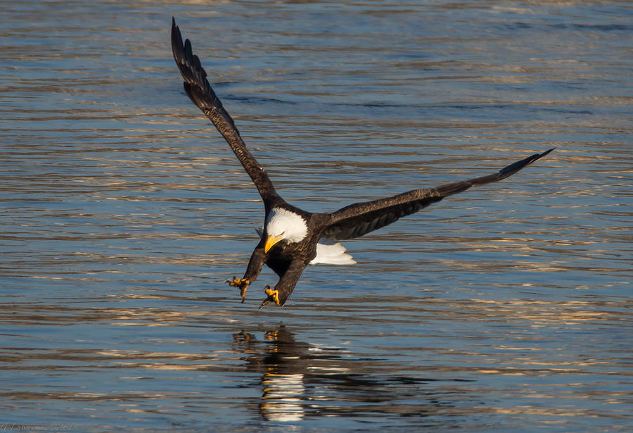 American Bald Eagles  Photograph - The Strike  by Glenn Lawrence