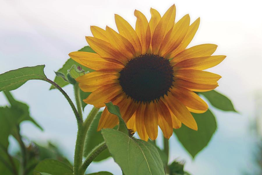 Flower Photograph - The Sunflower by Victoria Sheldon