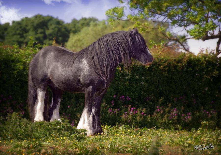 Gypsy Horse Photograph - The Superior by Elizabeth Sescilla