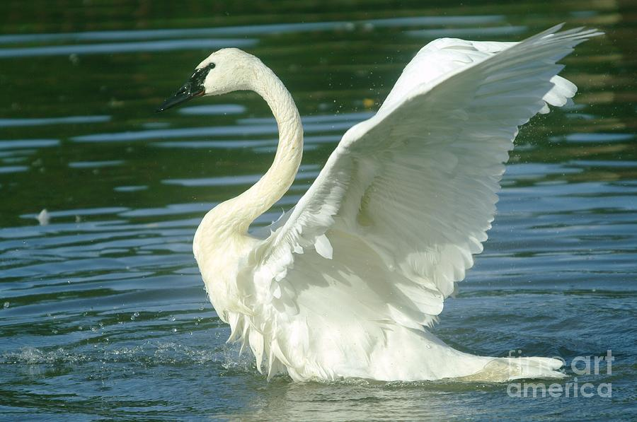 Swans Photograph - The Swan Rises  by Jeff Swan