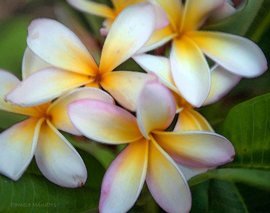 Flowers Photograph - The Sweet Fragrance Of Plumeria by Pamela Winders