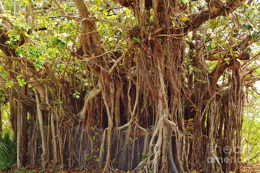 Banyan Photograph - The Takeover by Lynda Dawson-Youngclaus